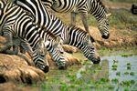 African Plains Zebra