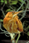 This Least Bittern is a secretive wetland inhabitant.