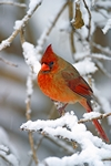 Northern Cardinal on a snowy afternoon in Shenandoah National Park, Virginia