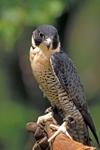 Peregrine Falcon adult used in captive breeding program.