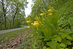 Yellow Lady's Slipper along Skyline Drive, Shenandoah National Park, VA