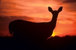 Whitetail deer silhouetted  in sunrise in Shenandoah National Park.