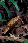 Northern Copperhead flicks his tongue, tasting the air around him.