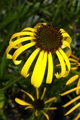 Yellow Petaled Coneflower