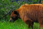 American Black Bear, Ursus americanus, Wyoming, Grand Teton National Park, Teton Range, Jackson Hole, animals; wildlife {undomesticated animals}; mammals {mammal, beast, beasts}; bear; radio collar, collared