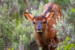 animals; wildlife {undomesticated animals}; mammals {mammal}; ruminant {ruminants}; elk, wapiti, Cervus canadensis, Wyoming, Grand Teton National Park, Teton Range, Jackson Hole, Jackson Lake area, young, immature, baby, babies,
