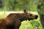 moose, Alces alces, North America; United States of America {America, U.S., United States, US, USA}; Wyoming; Grand Teton National Park {Teton Range, Jackson Hole}; Moose-Wilson Road, Wyoming, Grand Teton National Park, Teton Range, Jackson Hole, female, young, baby,