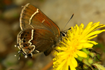 Thicket Hairstreak, Callophrys spinetorum nectaring on  Mountain Dandelion, Agoseris glauca, WY Wyoming, Grand Teton National Park, North America; United States of America {America, U.S., United States, US, USA}; Wyoming; WY; Grand Teton National Park, Grand Tetons, Jackson Lake, Coulter Bay, animals; wildlife {undomesticated animals}; invertebrates; Insect; butterfly, Lepidoptera; hairstreak {pseudo antenna eyespot, deflective mimickry};  {Callophrys = Mitoura} {Mitoura, larva foodplant conifer dwarf mistletoes}