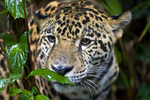 The jaguar, Panthera onca, is a New World feline and one of four