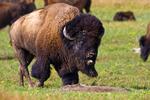 American Bison, Bison bison, Sage Creek Rim Road, South Dakota; Badlands National Park {Badlands}, North America; United States of America {America, U.S., United States, US, USA}; mammals {mammal}; ruminant {ruminants};  {buffalo}