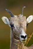 Bighorn Sheep, Ovis canadensis, Sage Creek Rim Road, South Dakota; Badlands National Park {Badlands}, North America; United States of America {America, U.S., United States, US, USA}; sheep, Artiodactyla, Bovidae;