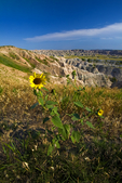 sunflower, Helianthus annuus, Badlands Loop Road, South Dakota; Badlands National Park {Badlands}, North America; United States of America {America, U.S., United States, US, USA}; sedimentary rock