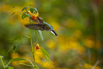 Ruby-throated Hummingbird, Archilocus colubris, Shenandoah National Park, VA, hummingbird, wildlife, wildflower garden, nectaring Jewelweed, Impatiens campensis