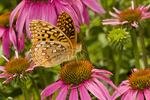 Great Spangled Fritillary, Speyeria cybele, on Purple Coneflower, Echineacea purpurea,it is apparently persisting from an old homesite garden or naturalized in the park, Jewell Hollow Overlook,  Shenandoah National Park, North America; United States of America, America, U.S., United States, US, USA; Virginia; VA, Appalachian Mountains, Blue Ridge Mountains,