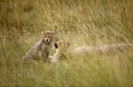 cheetah, Acinonyx jubatus, Masai Mara Game Reserve, Kenya, Africa; animals; wildlife {undomesticated animals}; mammals; cat, feline; mother with kitten, young, juvenile, kit, 14594-00883