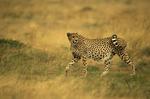 cheetah, Acinonyx jubatus, Masai Mara Game Reserve, Kenya, Africa; animals; wildlife {undomesticated animals}; mammals; cat, feline; 14594-08620