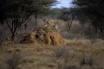 cheetah, Acinonyx jubatus, Samburu National Reserve, Kenya, Africa; animals; wildlife {undomesticated animals}; mammals; cat, feline; on red termite mound, young, juvenile, 176815