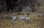 cheetah, Acinonyx jubatus, Samburu National Reserve, Kenya, Africa; animals; wildlife {undomesticated animals}; mammals; cat, feline; resting, lying down, 176840