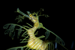 Leafy Sea Dragon, Phycodurus eques, southern Australia, animals; wildlife {undomesticated animals}; fish, sea dragon, camouflage, mimic, cryptic, kelp forests, 189140