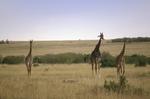 Masai Giraffe, Giraffa camelopardalis tippelskirchi, Masai Mara Game Reserve, Kenya, Africa; animals; wildlife {undomesticated animals}; mammals; ruminant, ruminants; giraffe, 14594-00965
