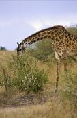 Masai Giraffe, Giraffa camelopardalis tippelskirchi, Masai Mara Game Reserve, Kenya, Africa; animals; wildlife {undomesticated animals}; mammals; ruminant, ruminants; giraffe, 14594-01237