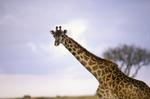 Masai Giraffe, Giraffa camelopardalis tippelskirchi, Masai Mara Game Reserve, Kenya, Africa; animals; wildlife {undomesticated animals}; mammals; ruminant, ruminants; giraffe, 14594-01245