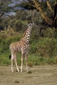 Masai Giraffe, Giraffa camelopardalis tippelskirchi, Crescent Island, Lake Naivasha, Kenya, Africa; animals; wildlife {undomesticated animals}; mammals; ruminant, ruminants; giraffe, 14594-11730