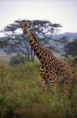 Masai Giraffe, Giraffa camelopardalis tippelskirchi, Lake Manyara National Park, Tanzania, Africa; animals; wildlife {undomesticated animals}; mammals; ruminant, ruminants; giraffe, 18394-01029