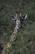 Masai Giraffe, Giraffa camelopardalis tippelskirchi, Serengeti National Park, Tanzania, Africa; animals; wildlife {undomesticated animals}; mammals; ruminant, ruminants; giraffe, eating acacia leaves, blue tongue, 173209