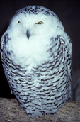 snowy owl, Bubo scandiacus, Canada, Ontario, animals; wildlife {undomesticated animals}; birds, avian, bird; bird of prey {raptor, predatory, predator}; owls, owl {nocturnal, hunts, hunts at night, facial disk}; SNOW, 47407