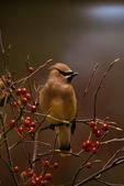 Bombycillidae; Cedar Waxwing, Bombycillia cedrorum, eating Red chokeberry, Aronia arbutifolia, Back Bay National Wildlife Refuge, Sandbridge, Virginia Beach, Virginia, VA, Bombycillidae, 004496zgHQ_AnnRobSimpson.jpg