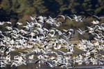 Snow Goose, Chen caerulescens, in flight in Chincoteague National Wildlife Refuge and Assateague Island National Seashore, Virginia, Chincoteague, Delmarva Peninsula, Eastern Shore, Chincoteague Island, USA, Flockof snow geese in flight.SnowGoose_AnnRobSimpson39F183775653zsn.tif