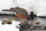 American Robin, Turdus migratorius, Shenandoah National Park, drinking water, Winter season, snow, cold, Virginia, USA, Appalachian Mountains, Blue Ridge Mountains, Robin3B4211d_ARS.jpg