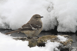 Northern Mockingbird; Mimus polyglottos, drinking, Shenandoah National Park, Winter season, snow, cold, Virginia, USA, Appalachian Mountains, Blue Ridge Mountains, Mockingbird3B4255_ARS.cr2