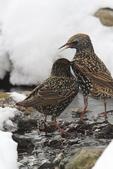 European Starling, Sturnus vulgaris, Shenandoah National Park, Winter season, snow, cold, Virginia, USA, Appalachian Mountains, Blue Ridge Mountains, Starling3B4347j_ARS.JPG