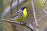 The endangered Kirtland's warbler is one of the rarest members of the wood warbler (Parulidae) family. It is a bird of unusual interest for many reasons. It nests in just a few counties in Michigan's northern Lower and Upper peninsulas, in Wisconsin and the province of Ontario and, currently, nowhere else on Earth. Its nests generally are concealed in mixed vegetation of grasses and shrubs below the living branches of five to 20 year old jack pine (Pinus banksiana) forests. North America; Canada; Central Canada {Central provinces}; Ontario; Point Pelee National Park, one of the best bird migration concentration spots in the world, animals; wildlife {undomesticated animals}; birds {avain, aves, bird}; warbler; Kirtland's Warbler, Dendroica kirtlandii, endangered species. The jack pine forest community provides the primary nesting habitat for the Kirtland's warbler. This forest species is adapted to dry land conditions and has been present on the sandy outwash plains of northern Michigan since the retreat of the Wisconsin ice sheet about 14,000 years ago. A narrow, band of jack pine habitat can be found across the north central states and the province of Ontario.  The Kirtland's warbler has very restrictive habitat requirements. In addition to being ground nesters, Kirtland's warblers prefer jack pine stands over 80 acres in size. Those stands, which are most suitable for breeding, are characterized by having dense clumps of trees interspersed with numerous small, grassy openings, sedges, ferns, and low shrubs. The birds nest on the ground under the living branches of the small trees. Jack pine stands are used for nesting when trees are about five feet high or about five to eight years of age. Nesting continues in these stands until the lower branches of the trees start dying, or when the trees reach a height of 16 to 20 feet (about 16 to 20 years of age). A breeding pair of warblers usually requires about six to ten acres for their nesting territory, although as litt
