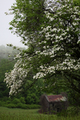 Flowering Dogwood, Cornus florida; seasons; Spring {springtime}; Roanoke Mountain area, near Roanoke Valley overlook; Blue Ridge Parkway, Virginia,  VA, BlueRidge24C4709_ARS.cr2
