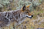 coyote; Canis latrans, North America; United States of America {America, U.S., United States, US, USA}; Wyoming, WY, Yellowstone National Park {Yellowstone Park}, Tower Roosevelt, animals; wildlife {undomesticated animals}; mammals {beast, beasts}; canine; coyote; Canis latrans