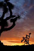 Joshua tree, Yucca brevifolia, sunset, sundown, Joshua Tree National Park, California, USA; Several of the Joshua Trees resembled Kokopelli - Trickster God. Kokopelli is a fertility deity, usually depicted as a humpbacked flute player, often with a huge phallus and antenna-like protrusions on his head