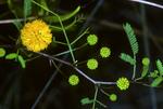 Key Acacia; Acacia pinetorum; Pinelands; Everglades National Park; Florida; tree; flower; yellow; 00060-02574;   PinelandAcacia002804dzs.jpg