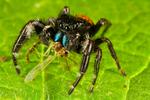 Redbacked Jumping Spider, Phidippus johnsoni; spider, Johnson Jumper, Shenandoah National Park, Virginia, USA; RedbackJumpingSpider67219zSs.jpg