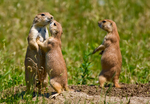 Black-tailed Prairie Dog, Cynomys ludovicianus, Roberts Prairie Dog Town, South Dakota; Badlands National Park {Badlands}, North America; United States of America {America, U.S., United States, US, USA}; mammals {mammal}; rodent; prairie dog;