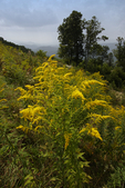 Canada Goldenrod, Solidago canadensis, (if separated this keys to Tall Goldenrod, Solidago altissima) Shenandoah National Park, Point Overlook, Blue Ridge Mountains view of Shenandoah Valley and Maasanutten Mountain Geaorge Washington National Forest, VA Virginia,