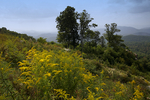 Canada Goldenrod, Solidago canadensis, (if separated this keys to Tall Goldenrod, Solidago altissima) Shenandoah National Park, Point Overlook, Blue Ridge Mountains view of Shenandoah Valley and Maasanutten Mountain Geaorge Washington National Forest, VA Virginia, @file