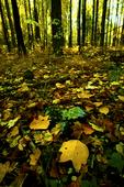 VA, Virginia, Shenandoah National Park, Tuliptree, Liriodendron tulipifera, Tulip Poplar, Tuliptree Forest mm 8 at Low Gap, gap species that rapidly dominates a disturbed site, autumn fall; Tuliptree50294_14959.tif