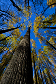 VA, Virginia, Shenandoah National Park, Tuliptree, Liriodendron tulipifera, Tulip Poplar, Tuliptree Forest mm 8 at Low Gap, gap species that rapidly dominates a disturbed site, autumn fall; Tuliptree1040716.cr2