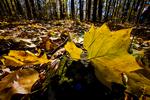 VA, Virginia, Shenandoah National Park, Tuliptree, Liriodendron tulipifera, Tulip Poplar, Tuliptree Forest mm 8 at Low Gap, gap species that rapidly dominates a disturbed site, autumn fall; Tuliptree2034016.cr2