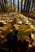 VA, Virginia, Shenandoah National Park, Tuliptree, Liriodendron tulipifera, Tulip Poplar, Tuliptree Forest mm 8 at Low Gap, gap species that rapidly dominates a disturbed site, autumn fall; Tuliptree2034316.cr2