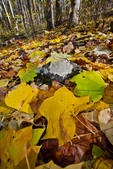 VA, Virginia, Shenandoah National Park, Tuliptree, Liriodendron tulipifera, Tulip Poplar, Tuliptree Forest mm 8 at Low Gap, gap species that rapidly dominates a disturbed site, autumn fall; Tuliptree4035856.cr2