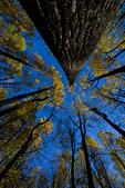 VA, Virginia, Shenandoah National Park, Tuliptree, Liriodendron tulipifera, Tulip Poplar, Tuliptree Forest mm 8 at Low Gap, gap species that rapidly dominates a disturbed site, autumn fall; Tuliptree5040648.cr2